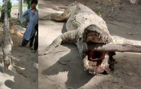 Rich result son google SERP when searching for 'Crocodile Sindh'